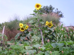 Italian Sunflowers