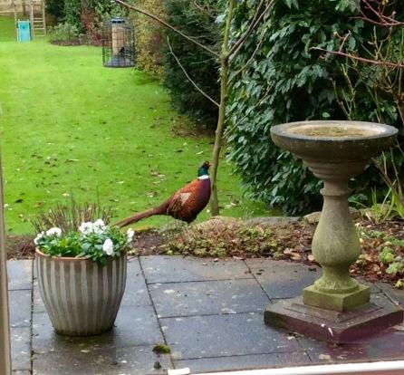 pheasant UK