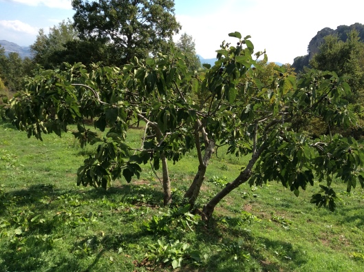 Fico (fig) tree