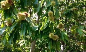 Castagna (chestnut)